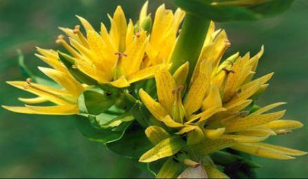 Цветок горечавки желтой