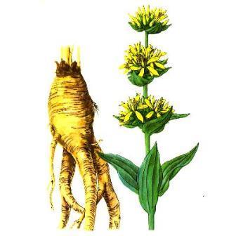 Горечавка желтая и её корень
