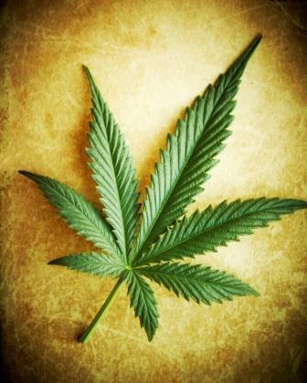 Растение Cannabis sativa (каннабис)