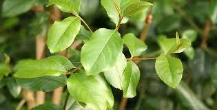 Catha edulis (кат) – цветущее растение, произрастающее в районе Африканского Рога и Аравийского полуострова.