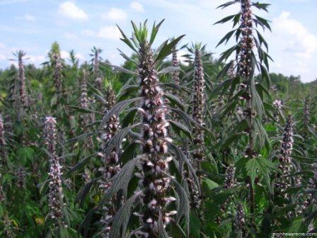 Пустырник – это кустарник, широко известный как львиный хвост (wild dagga), распространенный в большинстве регионов мира и принадлежащий к семейству Lamiaceae.