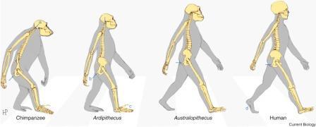 Рисунок 3. Локомоторная анатомия у шимпанзе, людей и ископаемых гомининов.