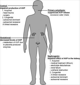 Рисунок 2. Основные фундаментальные причины и некоторые из основных механизмов НД. Центральный НД обусловлен неадекватным продуцированием / секрецией АВП в аденогипофизе. Гестационный диабет связан с увеличением метаболизма АВП плацентой во время беременности.