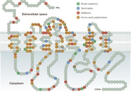 Рисунок 4. Схематическое изображение вазопрессинового рецептора (АВП2R) в клеточной плазматической мембране. Указаны некоторые из мутаций, вызывающие ННД. Некоторые мутации, такие как сращивание, сложные перегруппировки, грубые удаления и вставки, не показаны.