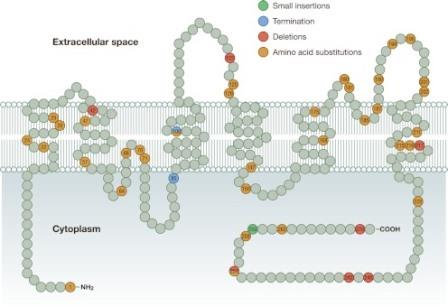 Рисунок 5. Схематическое изображение AQP2 в мембране с демонстрацией некоторых мутаций, которые, как известно, вызывают НД. Некоторые мутации, такие как сращивание, не показаны на рисунке.