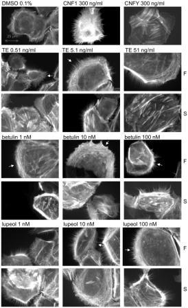 Рис. 10 ТЕ, бетулин и лупеол влияют на актиновый цитоскелет первичных кератиноцитов человека. Клетки инкубировали на покровном стекле по 2/мл ТЕ и 1, 10 и 100 нм бетулина и лупеола, соответственно. Актиновый цитоскелет был окрашен фаллоидин-родамином. 0.1% (об/об) DMSO применялся в качестве контрольного растворителя, а CNF1 и CNFY – в качестве положительного контроля. Ряды, помеченные F, показывают влияние на филоподии и ламеллиподии, а S – на формирование стресс-волокна. Белая стрелка указывает на передний край ячейки. Приведены репрезентативные фотографии повторных экспериментов (n = 5).