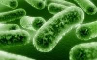 Лактобактерии казеи