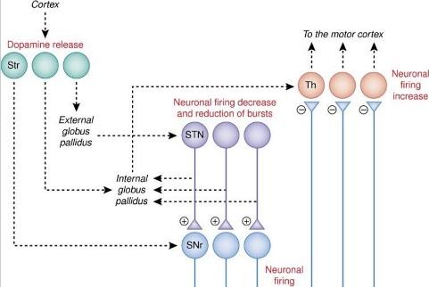 Рисунок 3. Нейронные цепи, участвующие в реакции на плацебо при болезни Паркинсона. Изменения, наблюдаемые в этой схеме, были получены после фармакологического предобусловливания с апоморфином, что наводит на мысль о том, что обучение является важным фактором в происходящих изменениях. Происходит выброс дофамина в вентральном и дорсальном стриатуме (Str). Нейроны субталамического ядра (STN) и вентральном сетчатом слое черной субстанции (SNr) уменьшают скорость выстреливания, в то время как нейроны в вентральном переднем и переднем вентральном боковом таламусе (Th) увеличивают выстреливание. Ядра, выделенные курсивом, и пунктирные линии указывают на часть схемы, которая не была изучена. Хотя выброс дофамина в Str и нейрональные изменения в STN, SNr и Th были обнаружены в различных исследованиях, нейронные изменения в STN, SNr и Th, вероятно, происходят из-за высвобождения дофамина в Str.