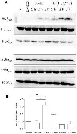 Рис. 7 TE увеличивает количество цитозольной HuR, определяемой методом вестерн-Блот анализа. (А.) Обработка первичных кератиноцитов человека 1 мкг / мл ТЕ в течение 1-3 ч показало зависящее от времени увеличение цитозольной HuR. Ил-1β (20 нг/мл) было использовано как положительный контроль, дефис показывает необработанные клетки. Актин использовали в качестве контроля. Результат вестерн блот был воспроизведен и показан один репрезентативный результат вестерн блот. (B) ТЕ увеличивает мРНК HuR, анализируемую методом количественной ПЦР. Первичные кератиноциты человека в разное время обрабатывали ТЕ (1 мкг / мл). Значения представляют собой средние значения не менее двух независимых экспериментов ± SEM. ** p<0,01 и * * * p<0,001 против контроля или DMSO.