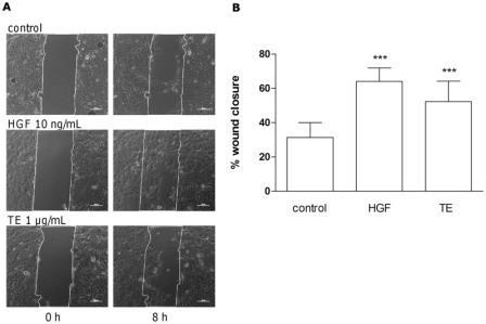 Рис. 9 TE усиливает миграцию первичных кератиноцитов человека в анализе методом зарастания царапины. Клетки инкубировали с 1 мкг/мл TE, 10 нг/мл HGF или обработали с DMSO в качестве контроля. Снимки делали сразу после ранения (0 ч) и через 8 ч инкубации (а). Ширина шкалы составляет 100 мкм. Приведены репрезентативные изображения повторных экспериментов. (B) Закрытая зона в % после 8 ч (1 мкг/мл ТЕ, 10 нг/мл HGF или необработанный контроль), по сравнению с зоной царапины в момент времени, равный нулю (0 ч). Значения представляют среднее закрытой зоны 4 независимых экспериментов ± s.d. ***p<0,001 по сравнению с контролем.