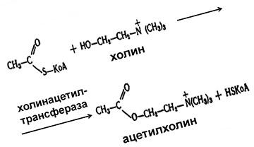 Синтез ацетилхолина