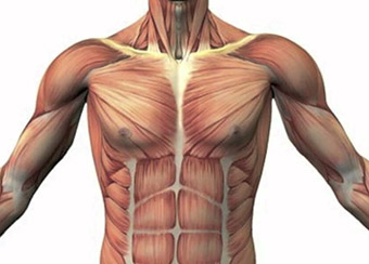 Влияние астрагала на скелетные мышцы