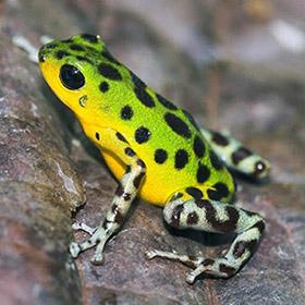 Лягушка древолаз сама по себе не производит батрахотоксин. Считается, что лягушки получают яд при употреблении в пищу жуков или других насекомых в их естественной среде обитания