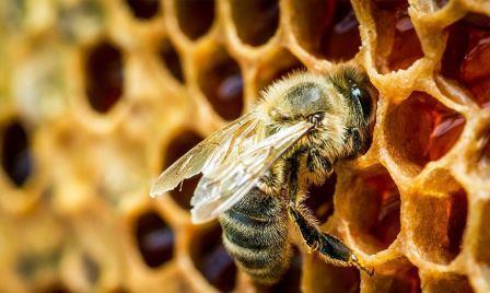 Мед производится пчелами из собранного нектара и переработки нектара в простые сахара, которые служат двойной цели – обеспечивают поддержание метаболизма мышечной активности во время сбора и длительное хранение в виде меда.
