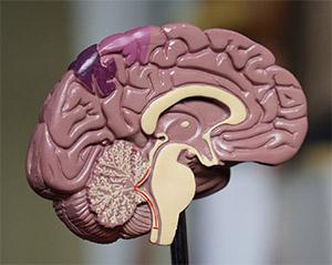 Влияние берберина на мозг