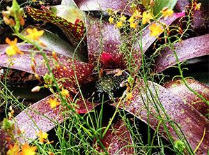Бульбина натальская — растение семейства асфоделовых, которое проявляет свойства афродизиака