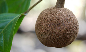 Чальмугра (Hydnocarpus wightiana)