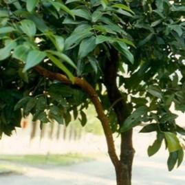 Коричное дерево