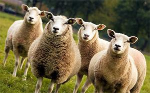 Цистеин: овцеводство