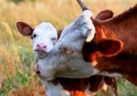 Некоторые индуисты считают, что корова – это священное животное, убой которого запрещен