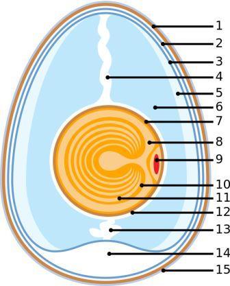 Схема куриного яйца: 1. Скорлупа 2. Наружная мембрана 3. Внутренняя мембрана 4. Халаза 5. Внешнее белковое вещество 6. Среднее белковое вещество 7. Желточная оболочка 8. Ядро 9. Зародышевый диск (ядро) 10. Желтый желток 11. Белый желток 12. Внутреннее белковое вещество 13. Халаза 14. Воздушные ячейки 15. Кутикулы