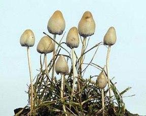 Псилоцибиновые грибы содержат вещества, которые могут вызвать галлюцинации.