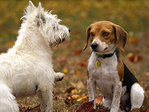 В ветеринарной практике собаки представляют собой животных, в наибольшей степени подверженных гипотиреозу