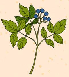 Голубой кохош использовался коренными американцами; название «кохош» происходит от алгонкинского названия растения