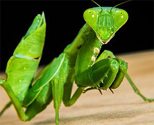 Использование хордеина против насекомых