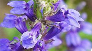 Иссоп: ботаника