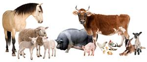 Кишечная палочка (E.coli): болезни животных