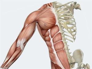 Конъюгированная линолевая кислота (CLA): взаимодействие со скелетными мышцами