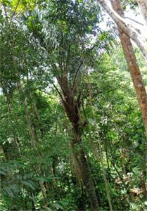 Клавохуаска: биоактивные свойства Tynanthus panurensis