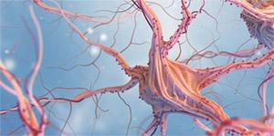 Красный корень: эффекты на периферическую нервную систему