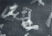 Lactobacillus reuteri