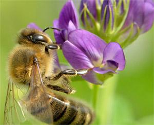 Люцерна и пчелы