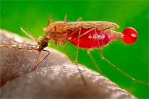 Малярия вызывается паразитами рода Plasmodium, которые, сами по себе, передаются комарами из рода Anopheles