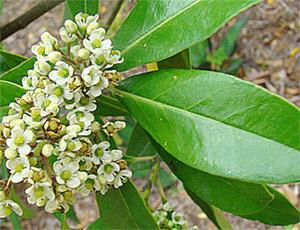 Мате – это один из видов падуба (семейство Aquifoliaceae)