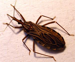 В Центральной и Южной Америке, наиболее распространенной причиной заболевания мегаколоном является так называемая болезнь Шагаса, возбудителем которой является трипаносома вида Trypanosoma cruzi
