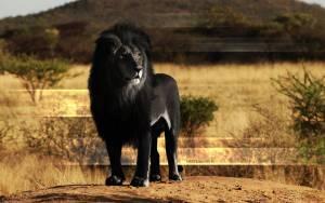 Меланистичный лев