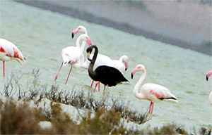 Меланизм у птиц