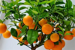 Моринга масличная и апельсиновое дерево