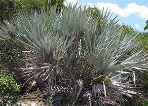 Пальма сереноа представляет собой смесь жирных кислот из карликовой пальмы Сереноя Ползучая