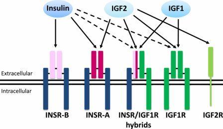 Инсулиноподобный фактор роста