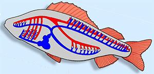 Рыба имеет замкнутую систему кровообращения