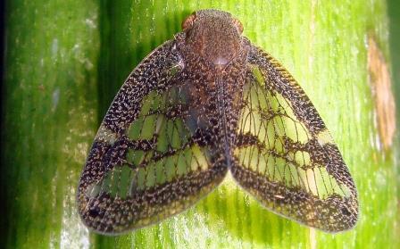 Насекомое Scolypopa australis, отравляющее мёд