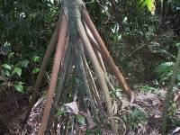 """""""Ходячие корни"""" S. exorrhiza"""