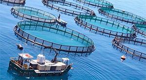 Трепанг (морской огурец): аквакультура