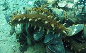 Морские огурцы общаются друг с другом, передавая гормонные сигналы через воду