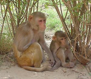 В апреле 1947 вирус впервые был выделен из организма резус-макаки,  помещенной в клетку в лесу Зика в Уганде, в районе озера Виктория, учеными из Научно-исследовательского Института по изучению желтой лихорадки